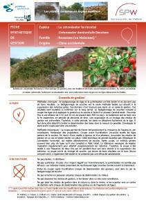 Cotoneaster horizontal invasive 1