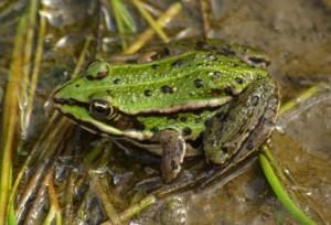 Jeune grenouille verte au bord de la mare en été