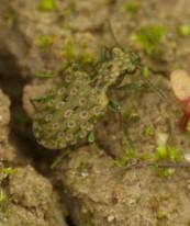 Elaphus riparius, un petit coléoptère particulièrement mimétique