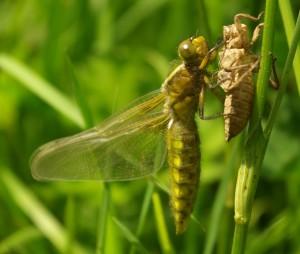 La naissance d'une libellule déprimée femelle