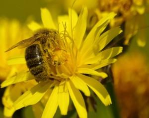 abeille en pleine action