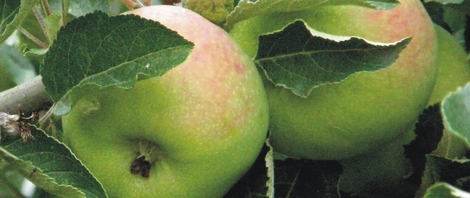 thumb - pommes