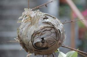 12 nid de guepe
