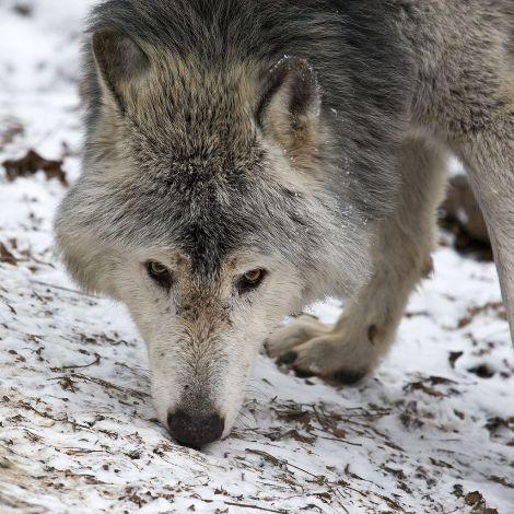 1024px-MC_Timberwolf